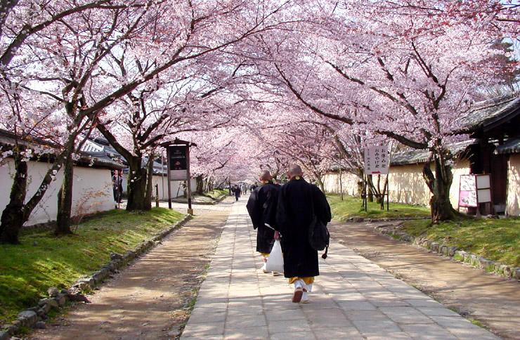 daigoji-cherry-blossoms