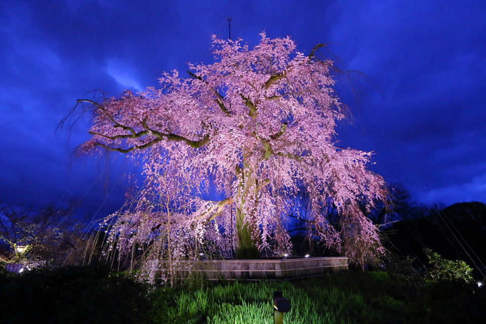 kyoto-weeping-cherry